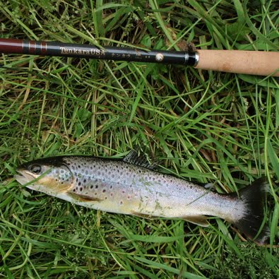 Eden wild brown trout on CDC plume tip, and tenkara