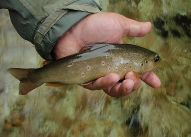 tenkara wild trout on CDC plum