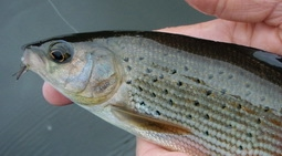 Grayling on the CDC plum and tenkara