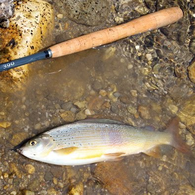 Nice grayling: tenkara fishing at Kokra