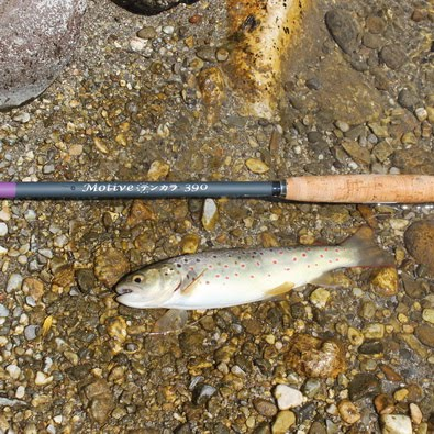 Nice trout: tenkara fishing at Kokra